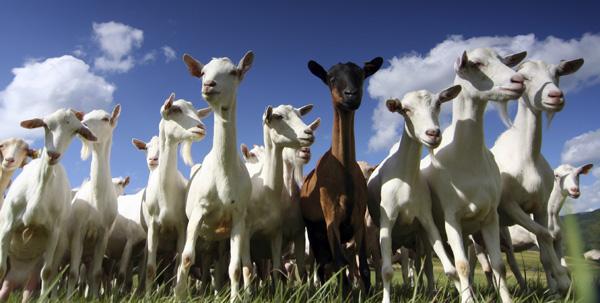 goats-med3